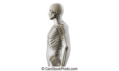 The human skeletal system - Animation showing the human...