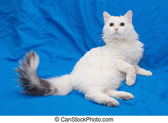 White cat with gray tail and yellow eyes on blue background