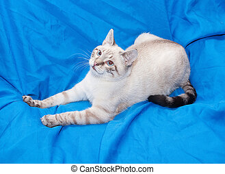 White cat with gray spots, lying on blue background