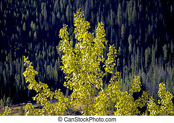 Aspen in a forest of pine trees in the autumn