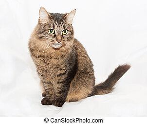 Striped green-eyed Siberian cat on white background