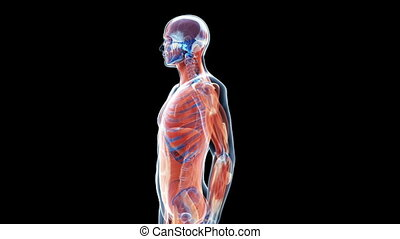 The human muscle system - Animation showing the human muscle...