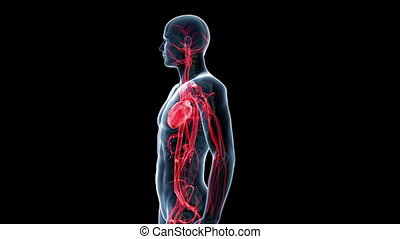 The human vascular system - Animation showing the human...