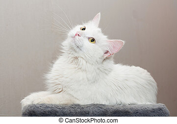 White cat with yellow eyes looking up
