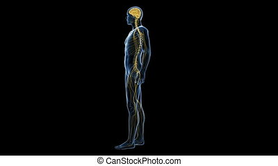 The human nerve system - Animation showing the human nerve...