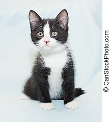 Black and white fluffy kitten sitting on blue background