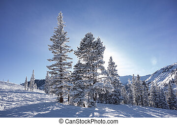 Trees On Ski Slopes With Sun - A view of trees looking up...