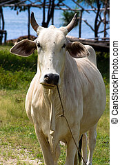 White Carabao - A white steer staring right at you.