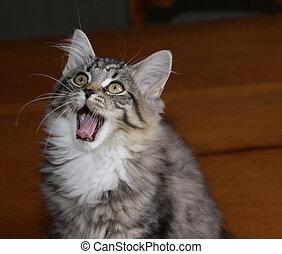 Yawning Kitten - An adorable kitten yawning while looking...