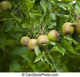 tight shot apples on tree - a tight shot of apples growing...