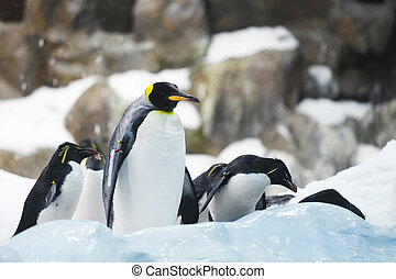 Emperor penguins on rocks near sea