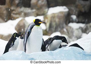 császár, Pingvin