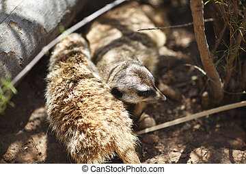 Suricate - Close-up view of suricate in wildlife
