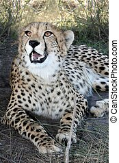 Cheetah Wild Cat - Magnificent cheetah wild cat from Africa...
