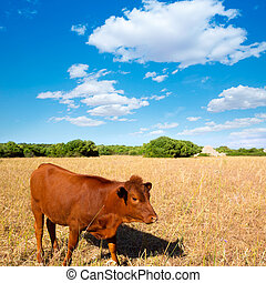 Menorca brown cow grazing in golden field near Ciutadella