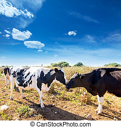 Friesian cows kissing each other in Menorca Balearic Islands