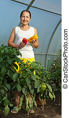 woman is picking  ripe pepper