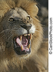 African lion, Panthera leo, single male head shot roaring,...