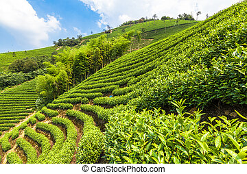 Green tea garden on the hill,china