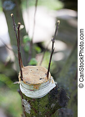 Fruit tree grafting - Three fruit tree twigs grafted on a...