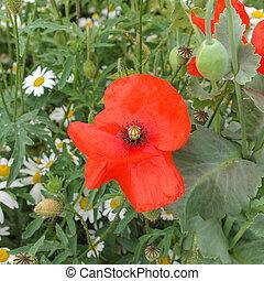 Papaver flower genus of the poppy family Papaveraceae