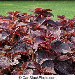Coleus Nettle plant