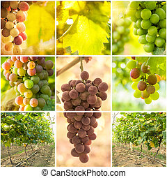 collage, viña, imágenes, uvas