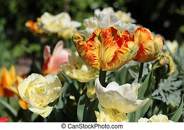 Tulips - Flowerbed with parrot tulips, white and orange .