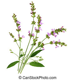 Sage Herb - Sage herb flower and leaf sprigs over white...