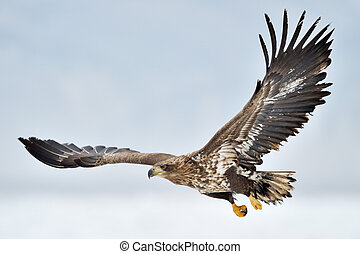 White-tailed Sea Eagle flying above the pack ice