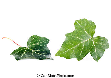 ivy leaves - two leaves of ivy isolated on white