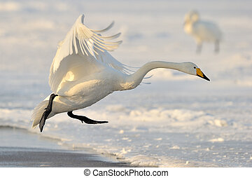 Whooper Swan landing from flight