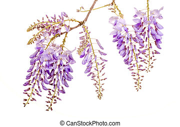 beautiful wisteria flowers - fresh purple wisteria flowers...