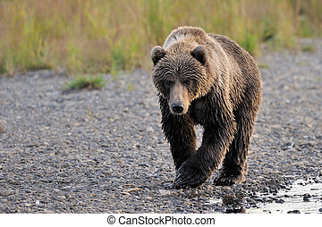 Kodiak Bear walking alongside river