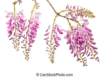 pink wisteria flowers bench isolated on white background
