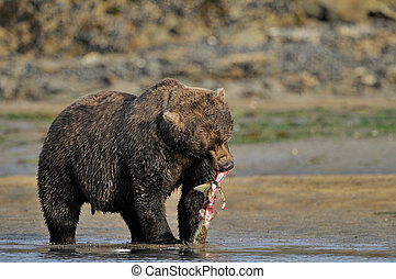Grizzly Bear eating a caught salmon.