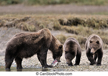 Grizzly Bear family. - Mother Grizzly Bear with two cubs...