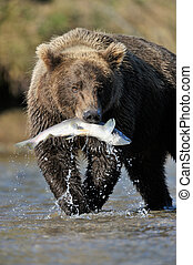 Grizzly Bear catching a salmon.