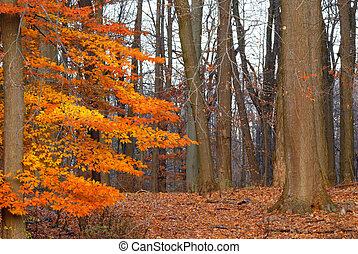 American Beech Tree nature background image in late fall...