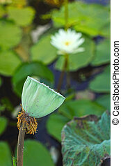 seed lotus in the nature