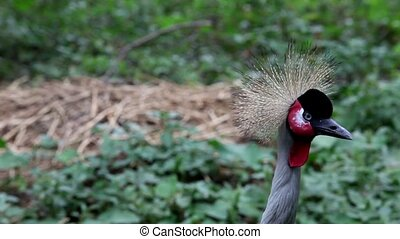 Crowned crane to sit on the nest