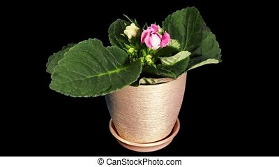 Growth of Gloxinia flower