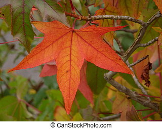 Sweet Gum Leaf - Orange autumn leaf of liquidambar...