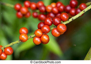 vermelho, semente, ventilador, palma