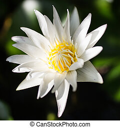 white lotus , lily flower in the lake