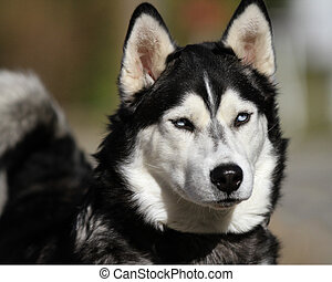 Beautiful husky dog face - Beautiful fluffy husky dog face...