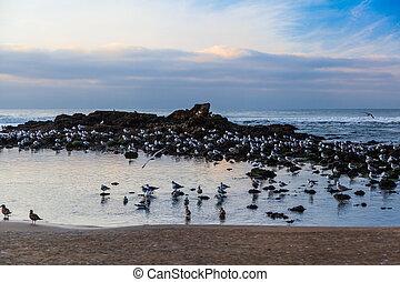 California Coast seagulls - Seagulls near Pescadero State...