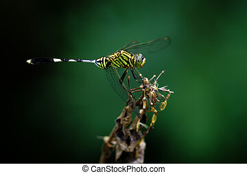 Close-up of a green dragonfly