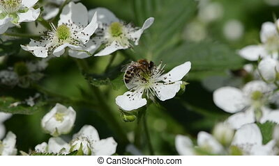 bees to flowers - the young white blackberries florets fly...