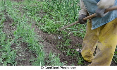 weeder - farmer with working clothes weeds between the beds...